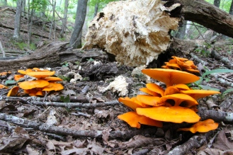 Jack O'Lantern Mushrooms