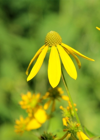 Green-Headed Coneflower