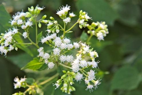 Snakeroot flowers
