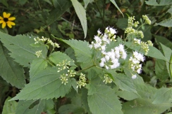 The leaves and flowers of snakeroot