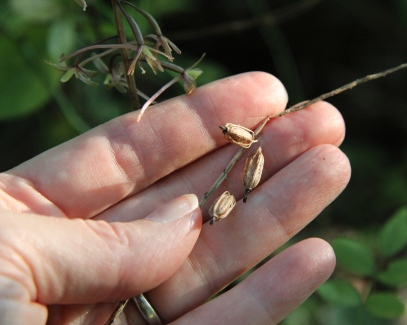 Last year's seedpods of Cranefly Orchid