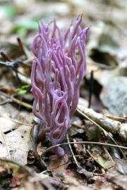 Magenta Coral, Clavaria zolingeri