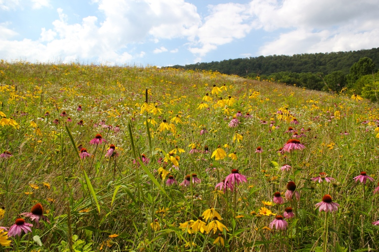 A field of purple and gray-headed coneflowers