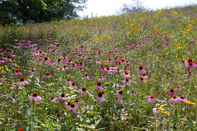 A mixed field of Purple Coneflower, Gray-Headed Coneflower and Coreopsis