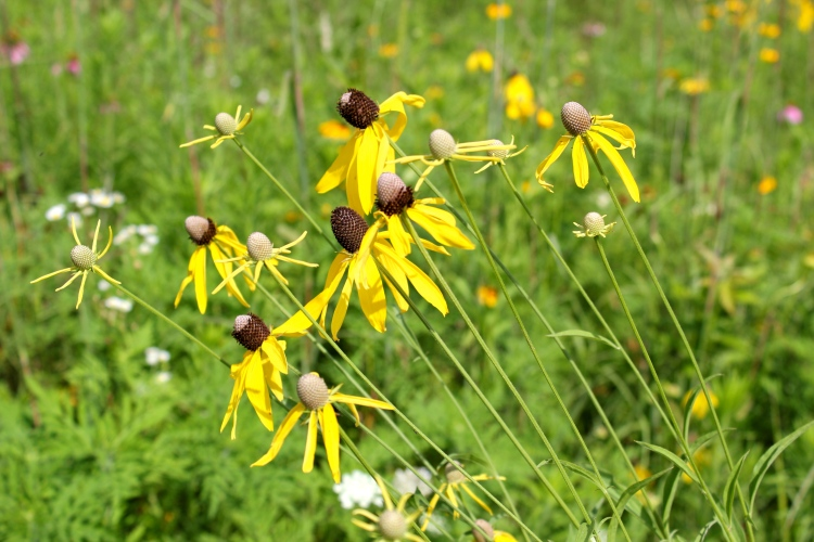 Gray-Headed Coneflowers