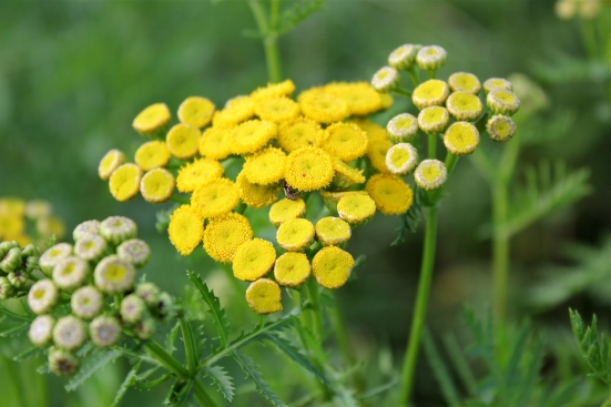 Common Tansy: a rayless composite