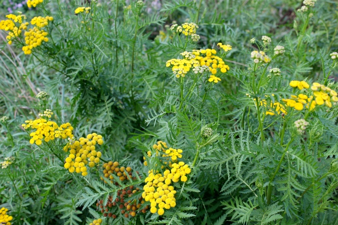 Common tansy: flowers and leaves