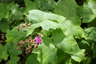 Leaves of purple flowering raspberry