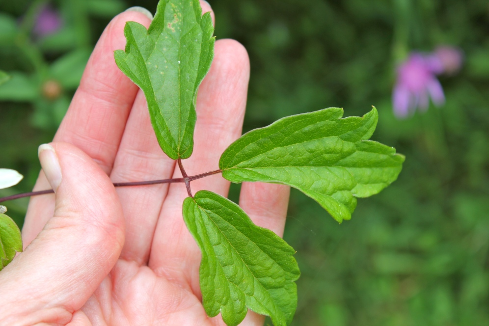 Leaves of Virgin's Bower