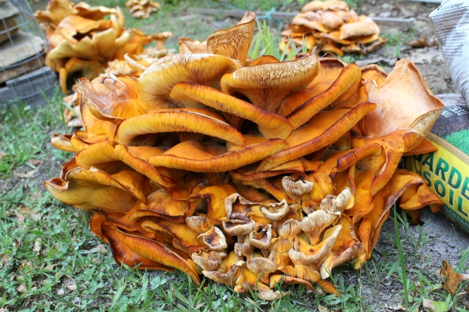 Jack O'Lantern Mushrooms