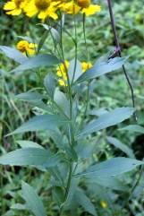 Alternate eaves and winged stems of Autumn Sneezeweed