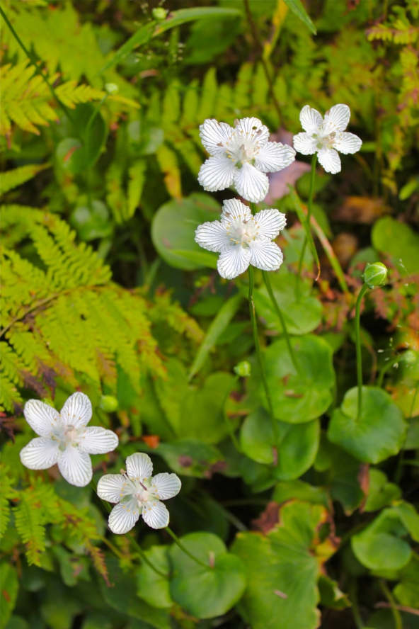 Grass of Parnassus in late August, growing beside Big Stoney Creek at Glen Alton