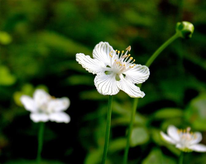 Kidneyleaf Grass-of-Parnassus