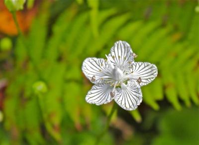 The deep green lines on the petals of Grass of Parnassus direct pollinators