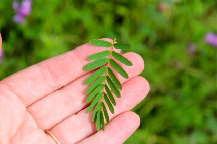 The pinnately compound leaf of Partridge Pea; each leaflet ends in a pointed barb.