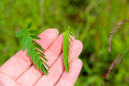 Slightly sensitive to touch: Partridge Pea leaves