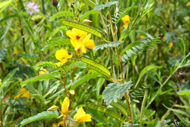 Peapods ofPartridge Pea
