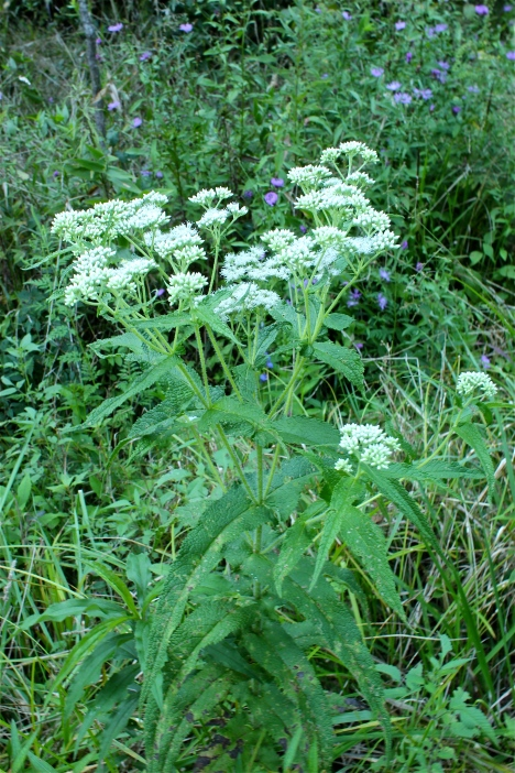 Boneset flowers and leaves