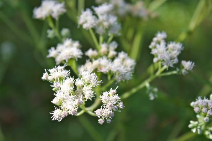 Boneset flowers
