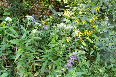 boneset in bloom along with blue lobelia, knapweed, and crownbeard