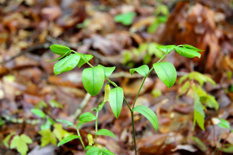 Mountain Bellwort in flower on May 8th