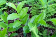 Mountain bellwort leaves