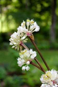 Ramp flowers in late June