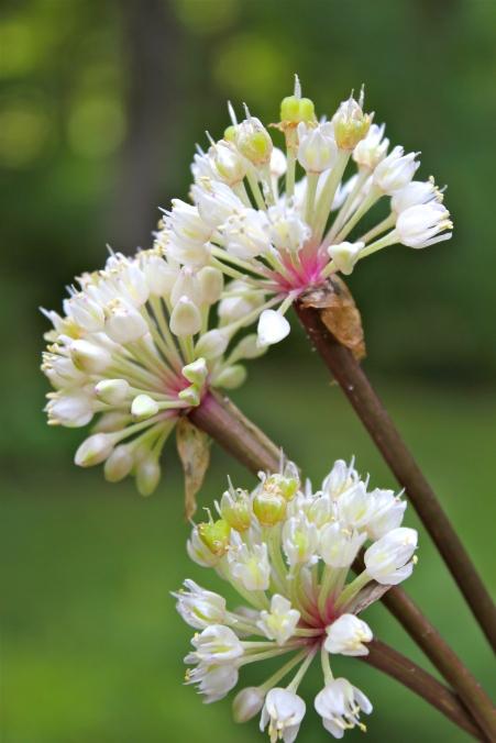Blooming in late June