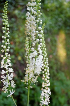 Black cohosh flowers
