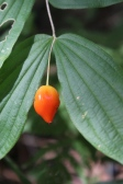 Orange-red fruit of fairy bells