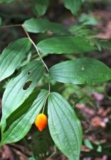 Orange-red fruit of fairy bells