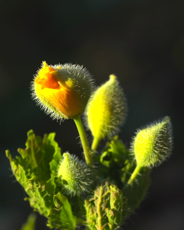 Early bloomers! Wood poppy flowers emerge right along with the first leaves in early April.