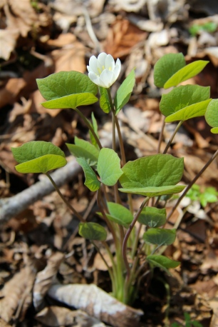 Twin Leaf