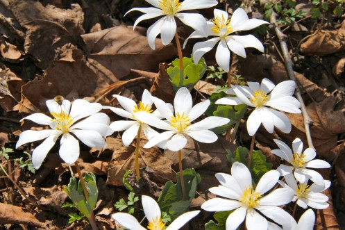 Bloodroot in early April