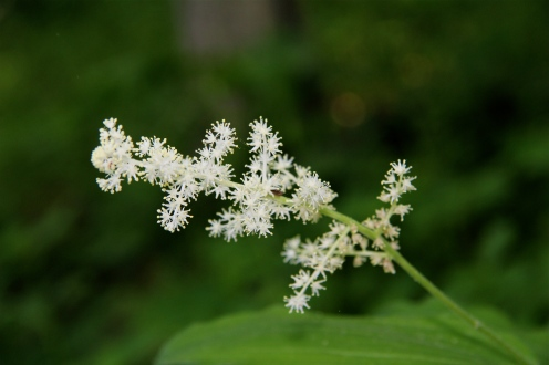 Flowers of False Solomon's Seal