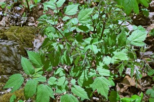 Black cohosh leaves