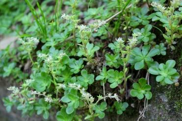 Wildstonecrop
