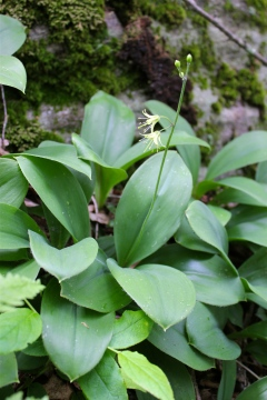 Yellow Clintonia