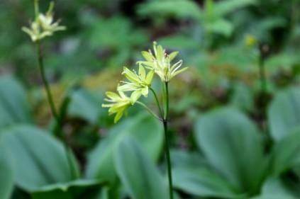 Yellow Clintonia