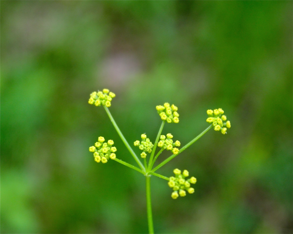 Golden Alexanders just before the blooms open
