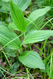 Leaves of Yellow Lady's Slipper