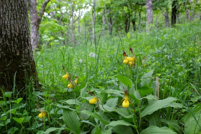 A group of Yellow Lady's Slippers near Bald Knob at Mountain Lake