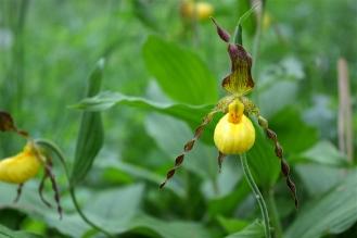 Yellow Lady's Slipper (Mountain Lake, June 1st))