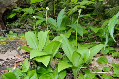 Speckled Wood Lily growing along with Canada Mayflower