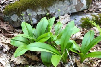Not sure if this will be yellow or white clintonia