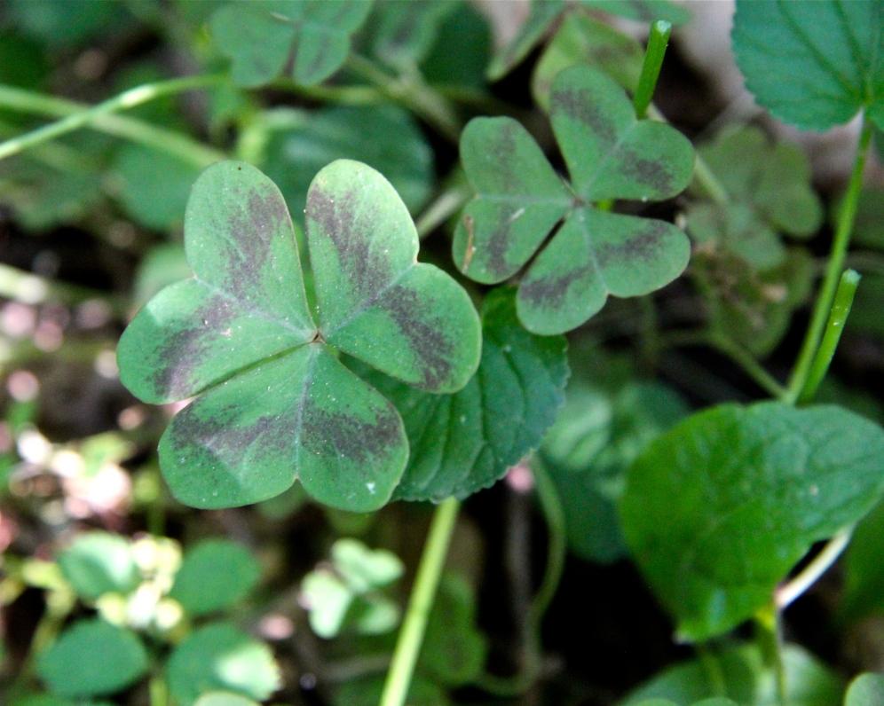 Leaves of Violet Wood Sorrel