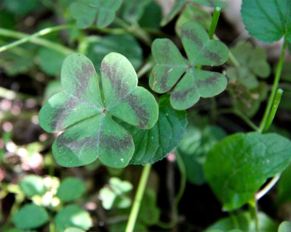 Leaves of Violet Wood Sorrel