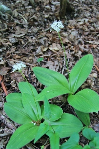 Speckled Wood Lily or White Clintonia