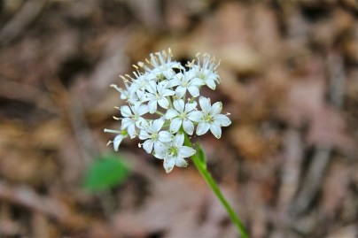 Umbel of white flowers: Speckled Wood Lily or White Clintonia