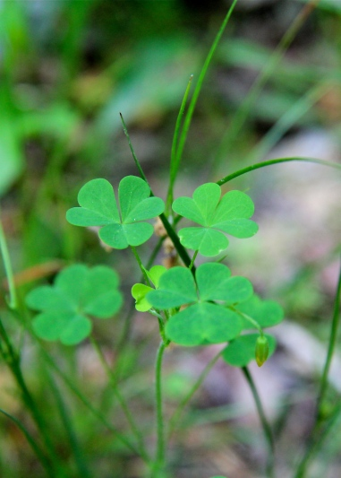 Yellow Wood Sorrel: each leaf is made up of three heart-shaped leaflets